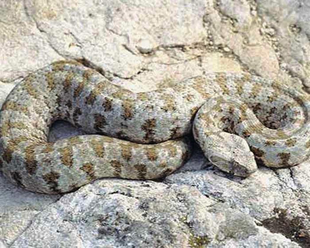 советы, гюрза змея фото один самых распространенных