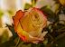 Роза Подарок от автора АСИ
