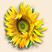 Солнечный цветок Подарок от автора Лора