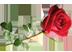 алая роза Подарок от автора Анна Розенберг