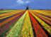 Тюльпановое поле Подарок от автора Инна Урсова