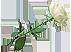 Белая роза Подарок от автора Инесса Полянская